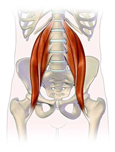 the psoas muscle the myofascial lines sympathetic nervous system